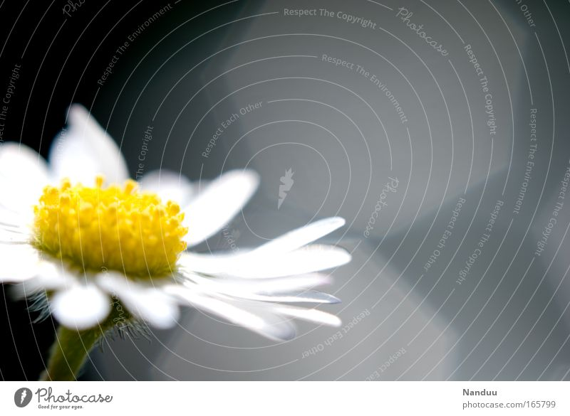 Ein Blümeli Umwelt Natur Pflanze Blume Blüte Gänseblümchen ästhetisch schön klein positiv Sauberkeit gelb grau weiß Leichtigkeit Vergänglichkeit Blendenfleck