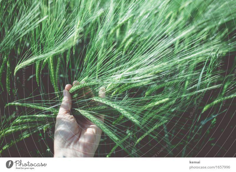 AST9   Fühlt sich gut an Mensch Leben Hand 1 Umwelt Natur Pflanze Sonnenlicht Sommer Schönes Wetter Nutzpflanze Gerste Gerstenfeld Kornfeld Getreide Feld