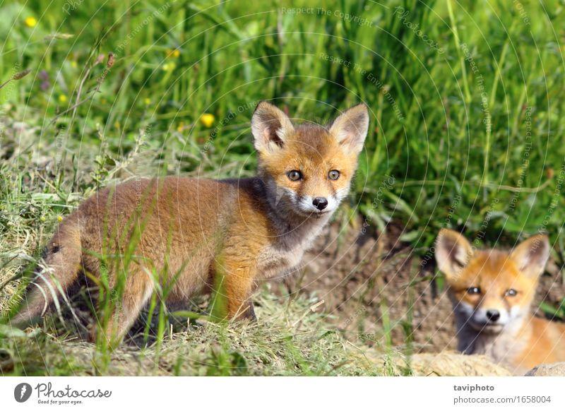 Neugieriges Fuchsjunges, welches die Kamera betrachtet Hund Natur grün schön Sommer Farbe rot Tier Wald Tierjunges natürlich Gras klein braun wild Wildtier