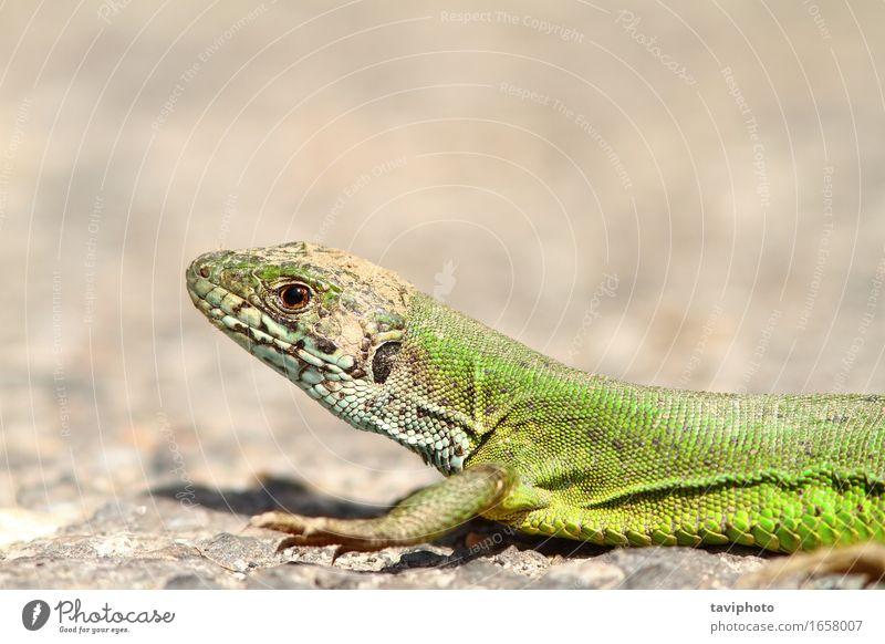 die grüne Eidechse schön Gesicht Sonnenbad Natur Tier Gras wild gelb Farbe Lizard Reptil Tierwelt lacerta Viridis Europäer Lebewesen Beautyfotografie Skala