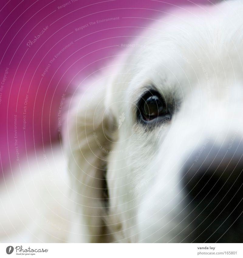 Mädchenhund schön Auge Tier Hund rosa Nase Tiergesicht Neugier niedlich Haustier Tierjunges Tierliebe loyal Golden Retriever