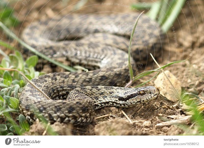 weibliche Wiesenviper im natürlichen Lebensraum schön Frau Erwachsene Natur Tier Schlange einzigartig wild braun Angst gefährlich Rakkosiensis selten Reptil