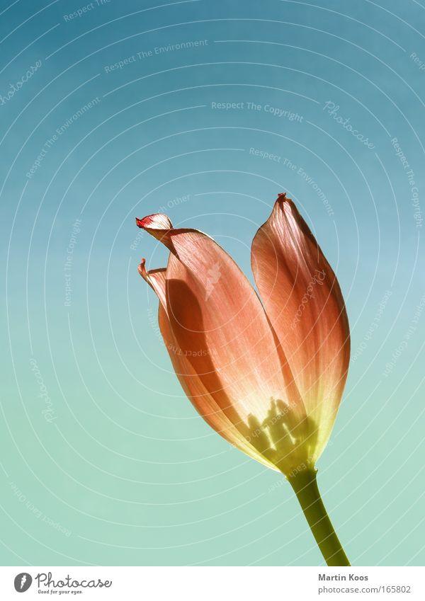 Blüten - Glühen Natur schön Blume Pflanze rot gelb Farbe Leben Blüte Glück Feste & Feiern glänzend Design elegant ästhetisch Schutz