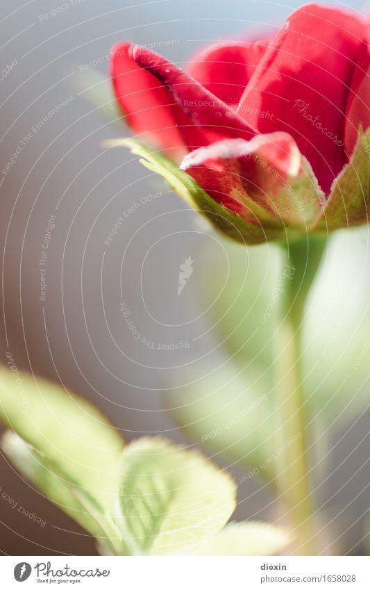 AST 9 | Dachterrassen-Röschen Pflanze Blume Blatt Blüte Topfpflanze Rose Blühend schön klein rot Natur Farbfoto Außenaufnahme Menschenleer Textfreiraum links