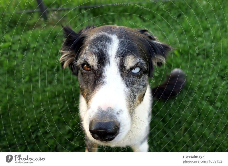 Hund: Australian Shepherd Tier Haustier Tiergesicht 1 sitzen Aggression braun grün schwarz weiß Angst Farbfoto Außenaufnahme Nahaufnahme Menschenleer Tag