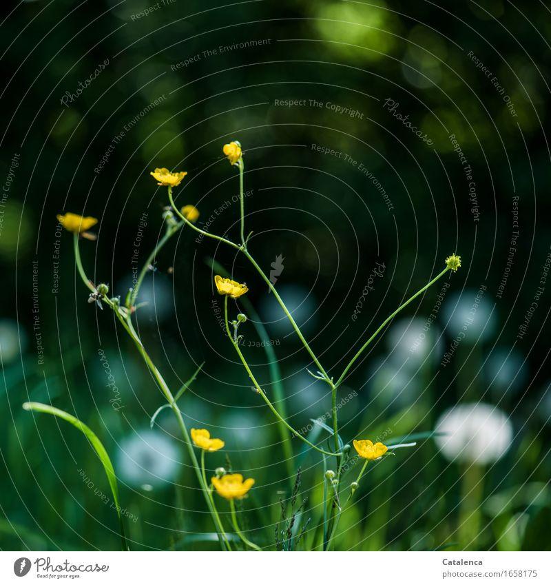 Lichtpunkte Natur Pflanze Luft Sommer Gras Butterblume Löwenzahn Weissdornhecke Wiese Blühend verblüht dehydrieren Wachstum ästhetisch wild gelb grün silber