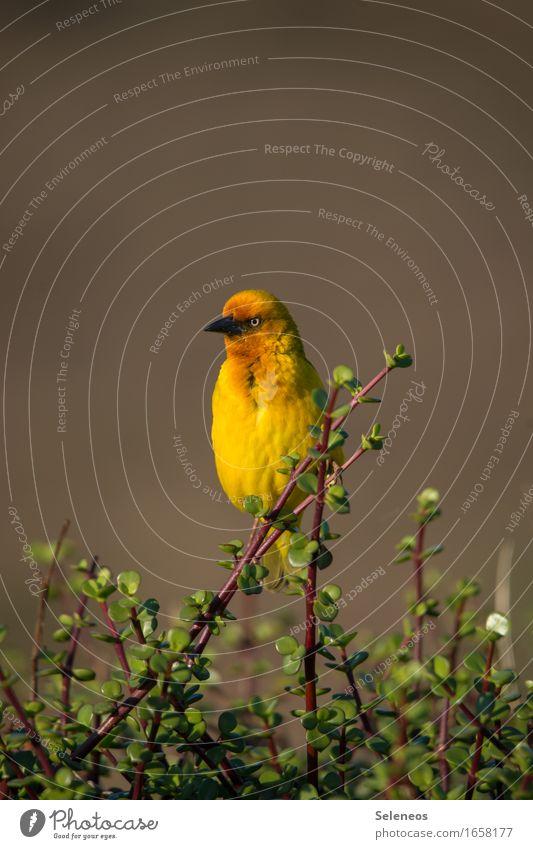 Webervogel Natur Pflanze Tier Ferne Umwelt gelb natürlich Freiheit Vogel Tourismus frei Ausflug Wildtier Sträucher Abenteuer Tiergesicht