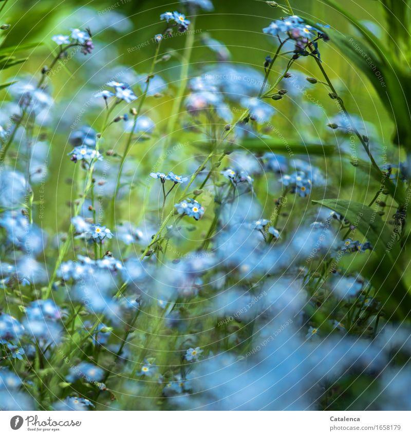 Blaues Wunder Natur Pflanze Blume Blatt Blüte Vergißmeinnicht Garten Blühend verblüht Wachstum ästhetisch Duft schön blau grün türkis Stimmung Verlustängste