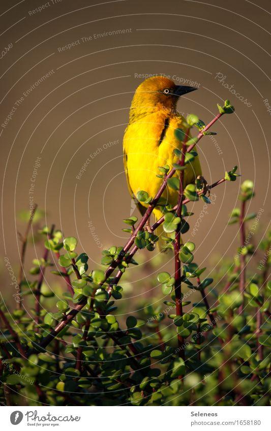 Webervogel Natur Ferien & Urlaub & Reisen Pflanze Sommer Sonne Tier Umwelt gelb klein Vogel Tourismus Wildtier gold Sträucher Ausflug neu