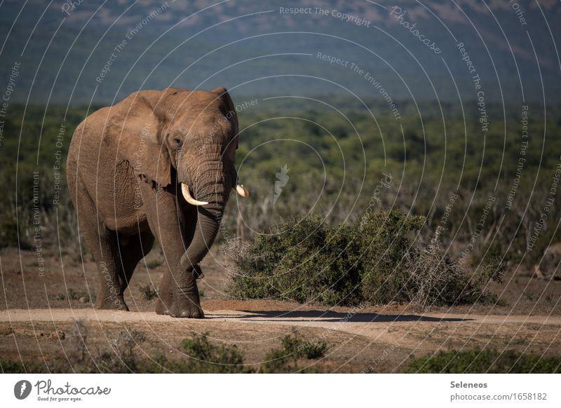 Wohin des Weges? Natur Ferien & Urlaub & Reisen Sommer Sonne Landschaft Tier Ferne Umwelt Tourismus wild frei Wildtier Ausflug Abenteuer Sommerurlaub Elefant