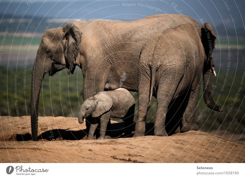 Familienausflug Ferien & Urlaub & Reisen Tourismus Ausflug Abenteuer Ferne Freiheit Safari Expedition Umwelt Natur Sommer Savanne Tier Wildtier Elefant