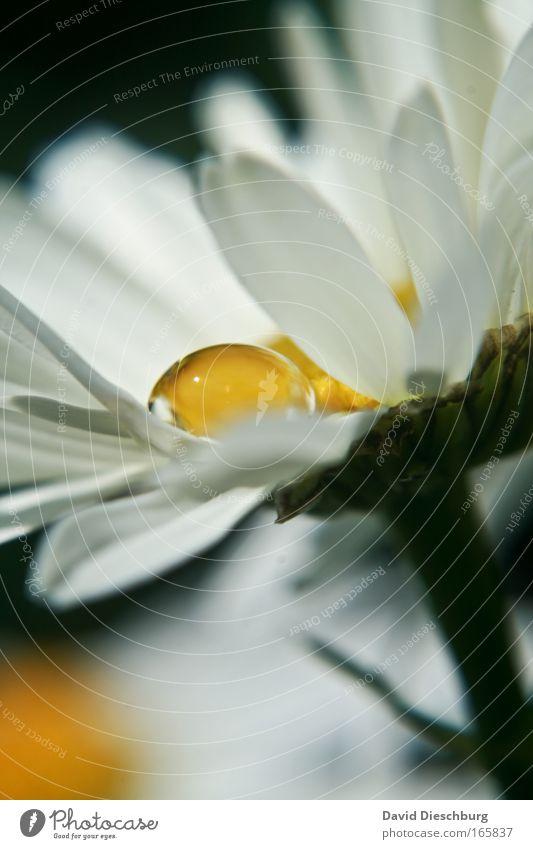 Silberträne in Gold Farbfoto Textfreiraum unten Kontrast Starke Tiefenschärfe Natur Pflanze Wasser Wassertropfen Blume Blüte ästhetisch Duft gelb gold grün weiß
