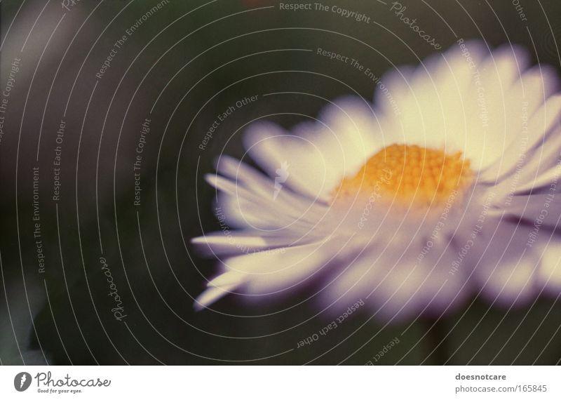 Daisies were her favourite Flowers... Natur weiß Blume grün Pflanze Sommer gelb Blüte Frühling elegant ästhetisch weich analog Gänseblümchen 35 Millimeter Film