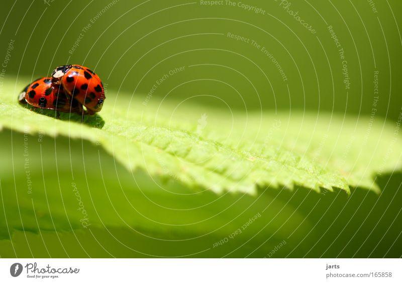 liebe machen... schön Pflanze Tier Gefühle Gras klein natürlich Wildtier Tierpaar paarweise Sträucher Verliebtheit Käfer Tierliebe Euphorie