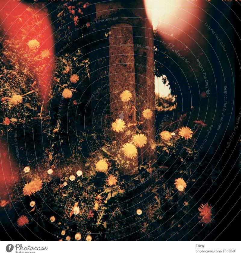 Blumenmeer Farbfoto Außenaufnahme Experiment Lomografie Holga Menschenleer Lichterscheinung Sonnenstrahlen Gras Ruine Garten Löwenzahn Gänseblümchen Friedhof