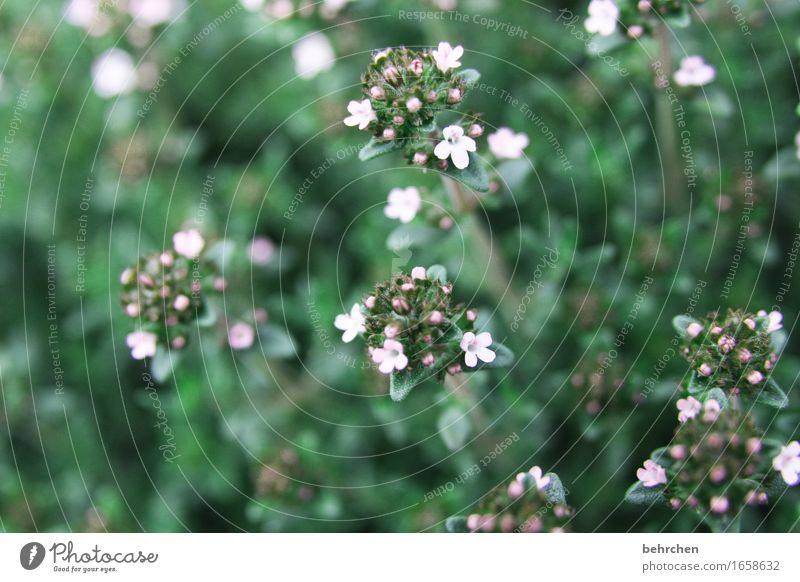 gewürz(t) Natur Pflanze Sommer Blume Blatt Blüte Kräuter & Gewürze Majoran Oregano Thymian Garten Park Wiese Blühend Duft schön klein geschmackvoll