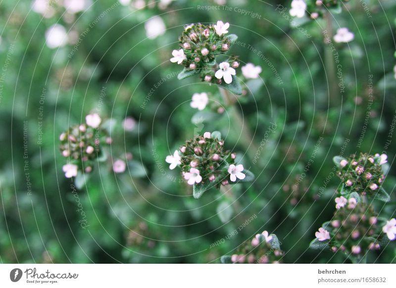 gewürz(t) Natur Pflanze Sommer schön Blume Blatt Blüte Wiese klein Garten Park Blühend Kräuter & Gewürze Duft Geschmackssinn Zutaten