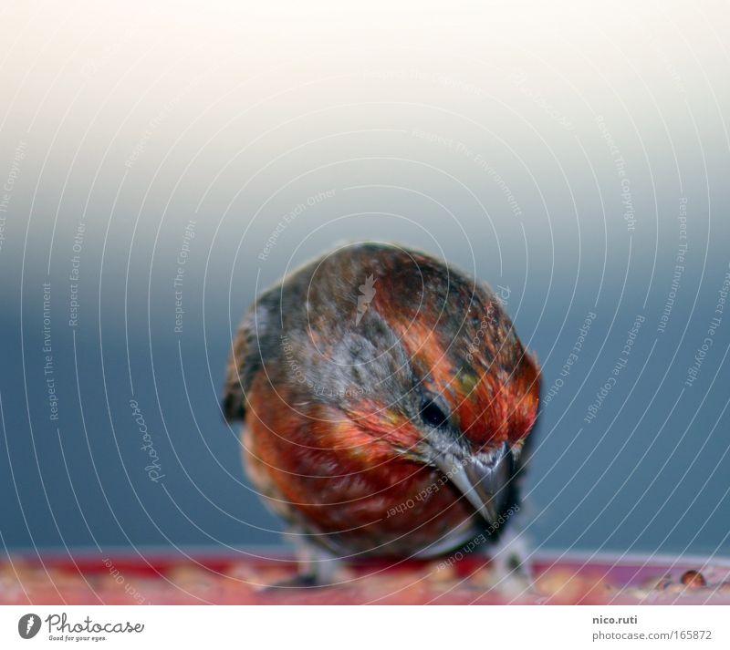 gieriger Gimpel blau rot Tier schwarz Umwelt fliegen Vogel wild Wildtier frei stehen Fröhlichkeit Ernährung Flügel Neugier lecker