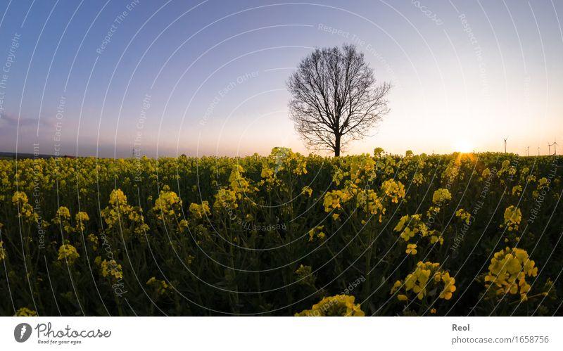 Abendliches Rapsfeld Natur Landschaft Pflanze Himmel Wolkenloser Himmel Sonne Sonnenaufgang Sonnenuntergang Sonnenlicht Frühling Sommer Baum Feld wild