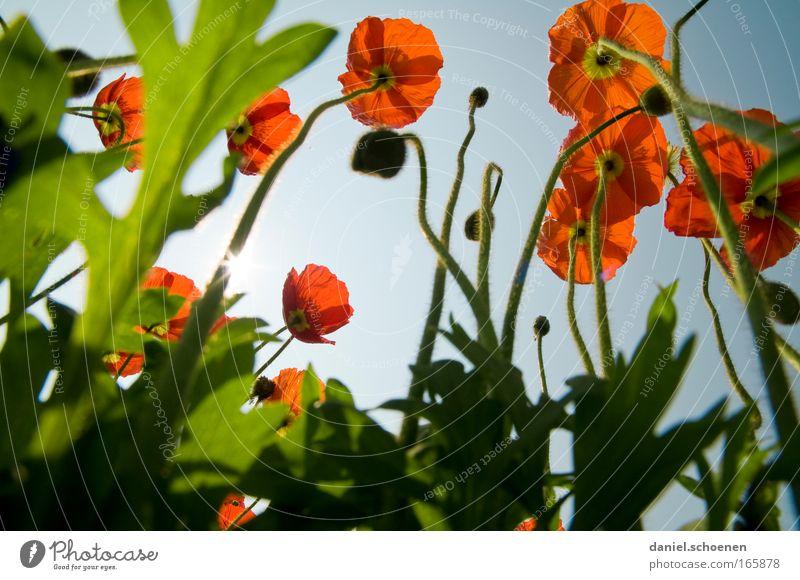 Ameisenperspektive Himmel Sonne Blume grün blau Pflanze rot Sommer Wiese Blüte Park Feld Froschperspektive Makroaufnahme entdecken Schönes Wetter