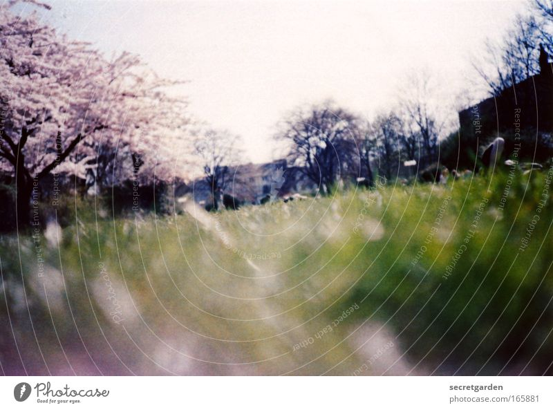 kirschblütenfest gefeiert. Natur weiß grün Freude Ferien & Urlaub & Reisen dunkel Erholung Wiese Gras Frühling Garten Glück Park rosa groß Horizont