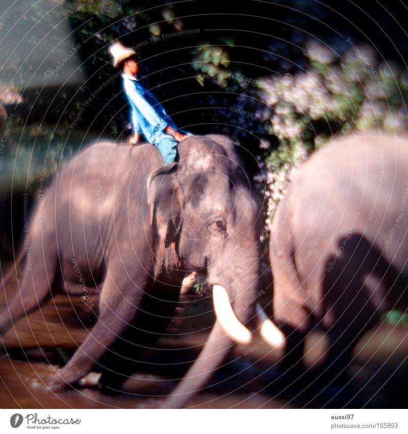 Jambo, jambo Natur Tier Umwelt Landschaft Elefant Asien Urwald Umweltschutz Thailand Nutztier Abholzung Arbeitstier Stoßzähne Elefantenhaut