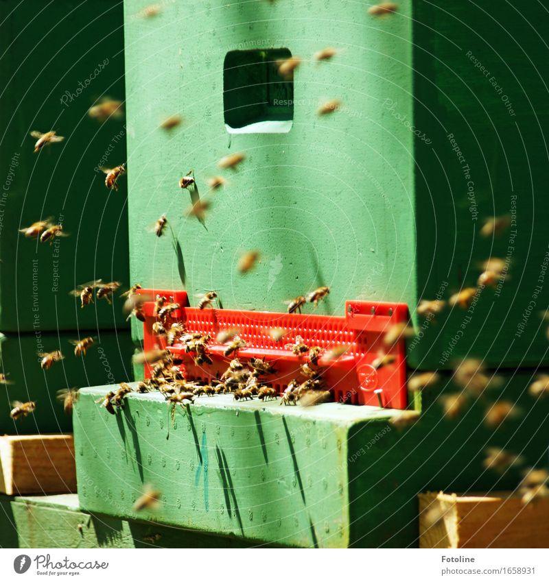 Rumgesumme Tier Nutztier Biene Flügel Schwarm frei hell klein natürlich viele grün rot Bienenstock Honigbiene Insekt fliegen fleißig Farbfoto mehrfarbig