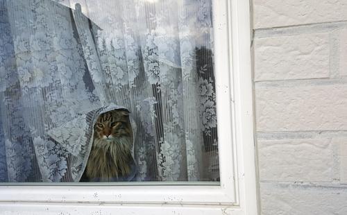 Was'n da los? Tier Haustier Katze Tiergesicht Fell 1 frech weich Wand Fenster Fensterscheibe Gardine Hauskatze Säugetier Maine Coon Farbfoto Gedeckte Farben