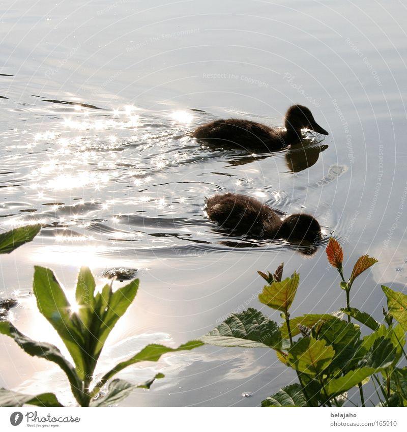 Seeidylle Natur Wasser Sonnenlicht Frühling Teich Maschteiche Hannover Tier Wildtier 2 Tiergruppe Tierjunges Zusammensein klein niedlich grün harmonisch