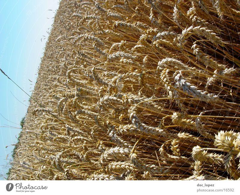 KornMeer Kornfeld Weizen Getreide Feld Landwirtschaft gelb Ähren Landschaft Himmel Aussicht blau tief Perspektive aus der Hüfte