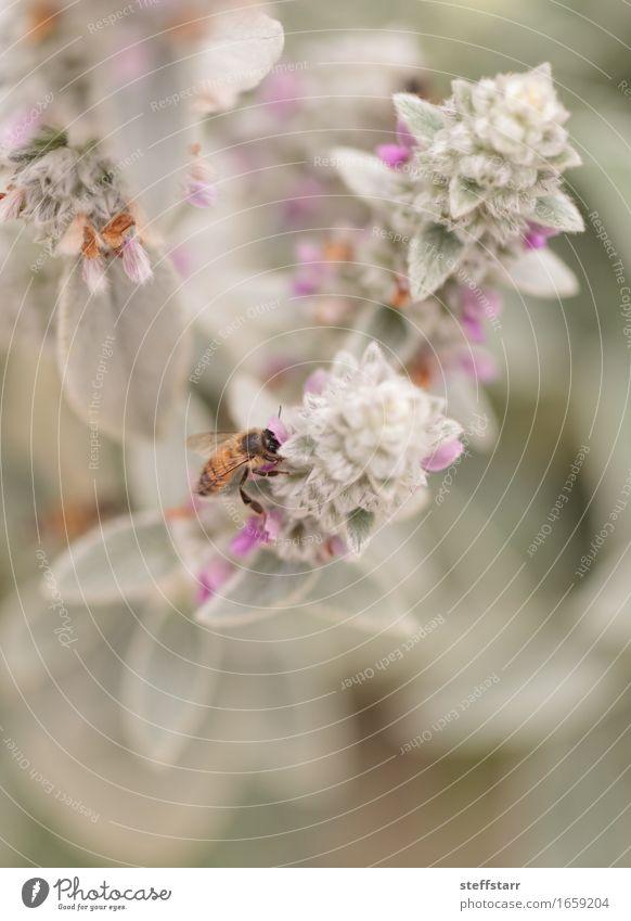 Honigbiene, Hyläus, sammelt Pollen Natur Pflanze Tier Frühling Blume Blatt Blüte Garten Feld Biene 1 braun gelb gold grün violett rosa schwarz Farbfoto