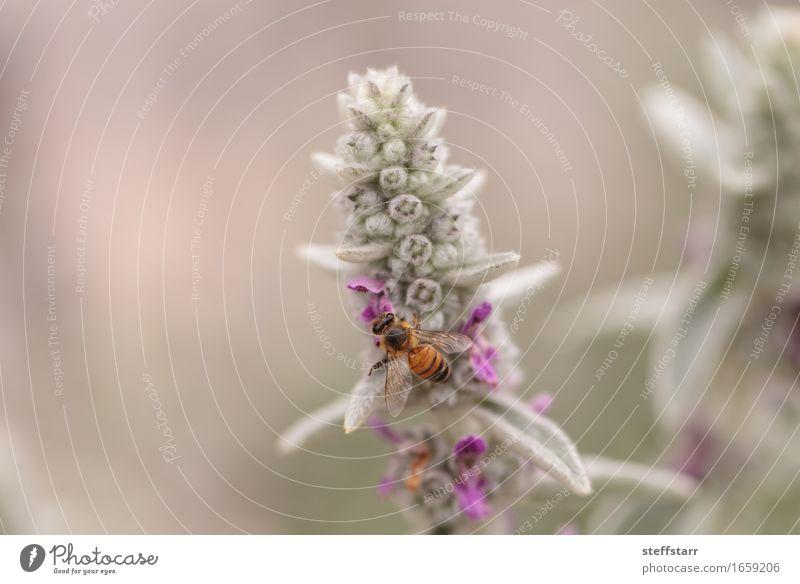 Honigbiene, Hyläus, sammelt Pollen Natur Pflanze Tier Frühling Blume Blüte Biene Flügel 1 braun gelb gold grün violett rosa schwarz Farbfoto mehrfarbig