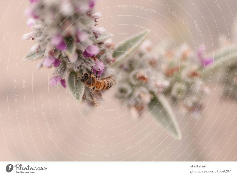 Honigbiene, Hyläus, sammelt Pollen Natur Pflanze Tier Frühling Blume Blüte Nutztier Biene Flügel 1 braun gelb gold grün violett rosa schwarz Farbfoto mehrfarbig