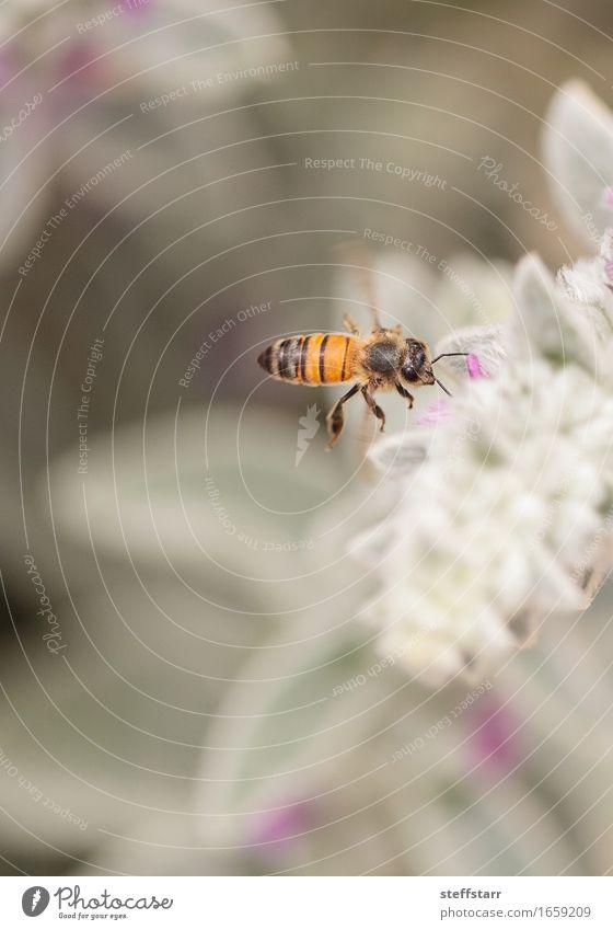 Honigbiene, Hyläus, sammelt Pollen Natur Pflanze Tier Frühling Blume Blüte Garten Nutztier Biene 1 braun gelb gold grün violett rosa schwarz Farbfoto mehrfarbig