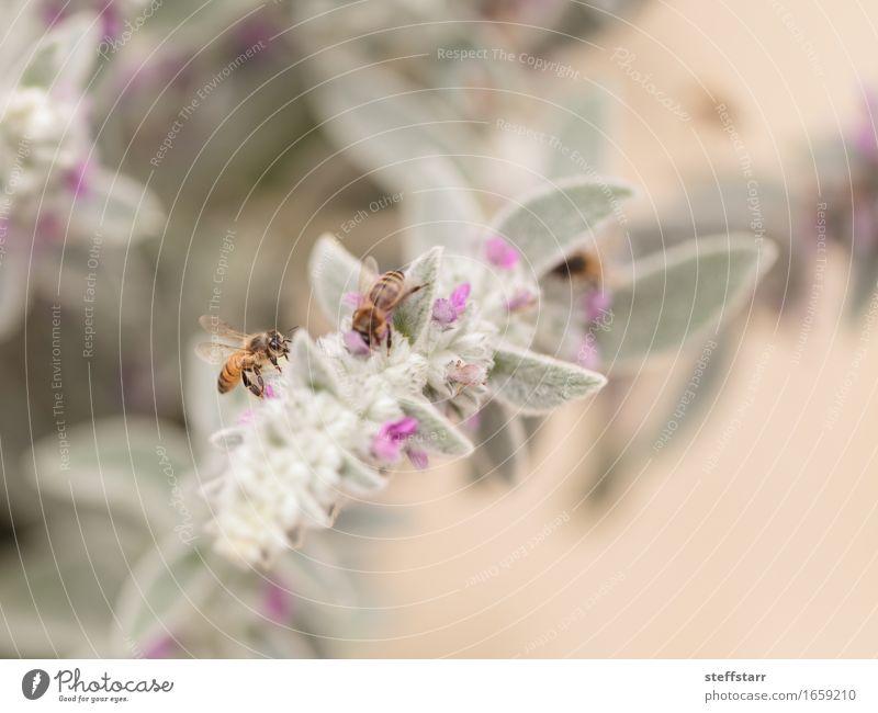 Honigbiene, Hyläus, sammelt Pollen Natur Pflanze Tier Frühling Blume Blüte Nutztier Biene Flügel 2 braun gelb gold grün violett rosa schwarz Farbfoto mehrfarbig