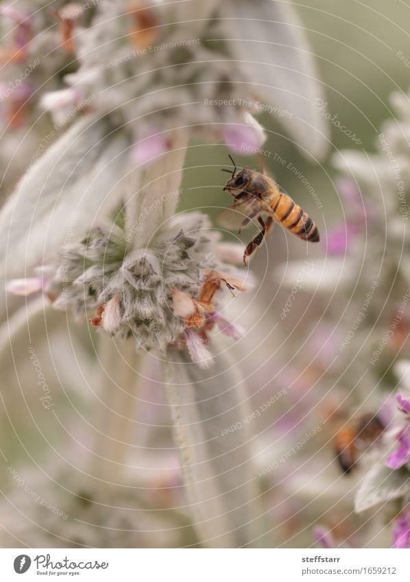 Honigbiene, Hyläus, sammelt Pollen Natur Pflanze Tier Frühling Blume Blüte Nutztier Biene 1 braun gelb gold grün violett rosa schwarz Farbfoto mehrfarbig Morgen