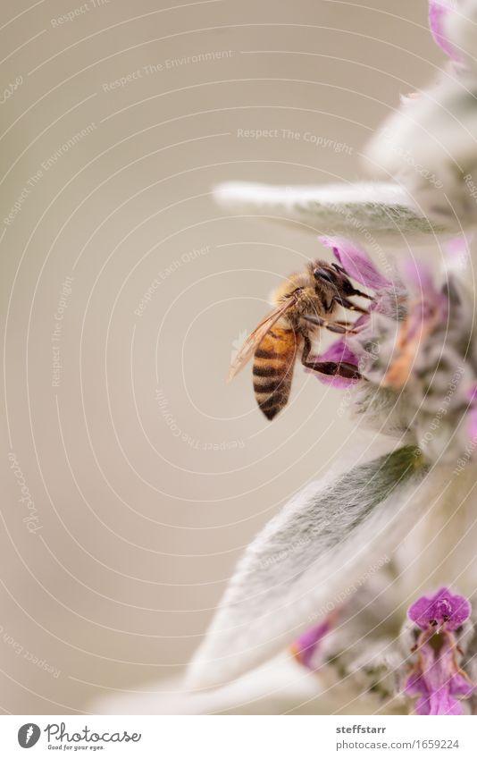 Honigbiene, Hyläus, sammelt Pollen Gesundheit Umwelt Natur Pflanze Tier Blume Blatt Blüte Garten Nutztier Biene 1 braun gelb gold grün violett rosa Farbfoto