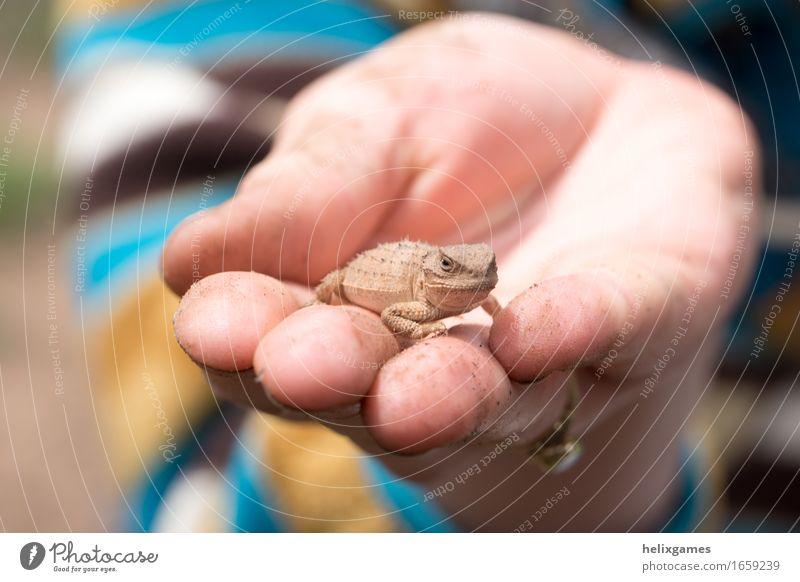 eine Eidechse in der Hand Natur Tier Wildtier Lizard Echte Eidechsen 1 nah Wärme Farbfoto Nahaufnahme Schwache Tiefenschärfe