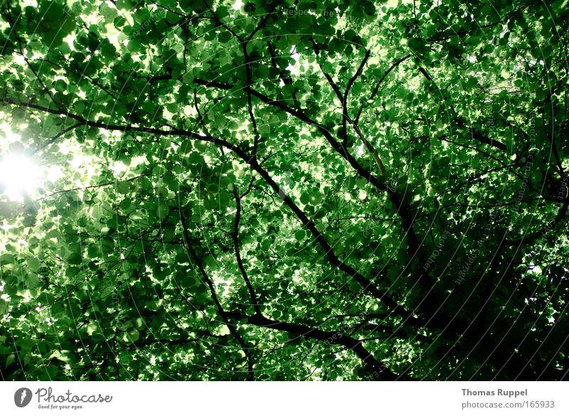 Blätterwald Farbfoto Außenaufnahme Menschenleer Tag Sonnenlicht Sonnenstrahlen Natur Frühling Pflanze Baum Blatt Ast grün Umwelt