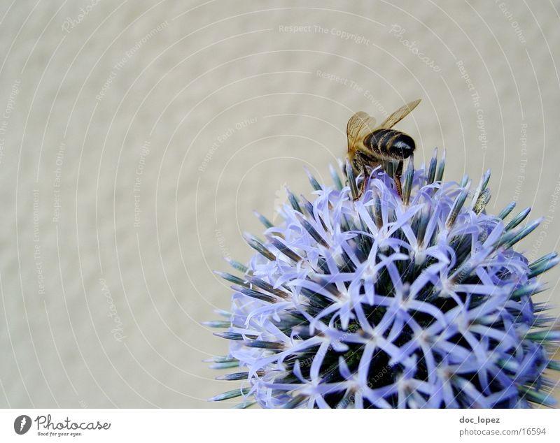 Biene_und_blaues_Ding_1 Staubfäden Blume Sommer fleißig blaue Blüte Nektar Detailaufnahme Anschnitt Aktion