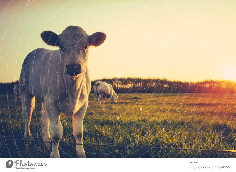 Flauschig | hinter den Ohren Natur Sommer Tier Tierjunges Umwelt Wiese Feld niedlich Neugier Landwirtschaft Weide Bioprodukte tierisch