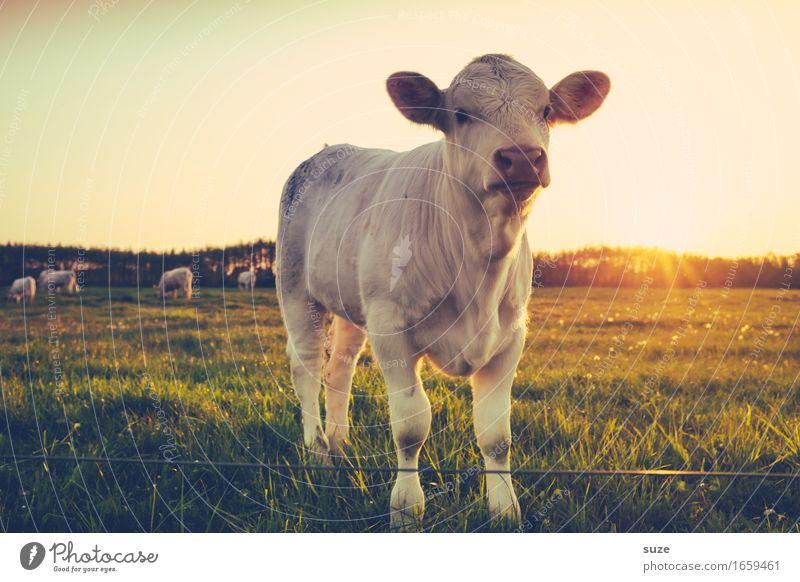 Golden Retriever Sommer Landwirtschaft Forstwirtschaft Umwelt Natur Tier Wiese Feld Nutztier 1 Tierjunges niedlich Neugier Kalb Rind Weide Landleben tierisch