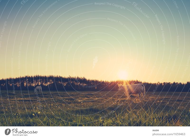 Kuhblende Natur Ferien & Urlaub & Reisen Sommer Tier Umwelt Gefühle Wiese Stimmung Zufriedenheit Ernährung Feld Romantik Neugier Landwirtschaft Weide Bauernhof