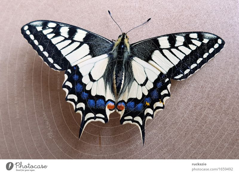 Schwalbenschwanz; Papilio; machaon; Schmetterling; Tagfalter frei schwarz weiß Insekt Edelfalter Fleckenfalter Edelschmetterling neutral Dovetail Butterfly