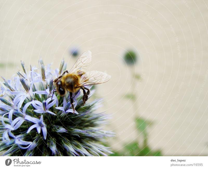 Biene_und_blaues_Ding_2 Staubfäden Blume Sommer fleißig blaue Blüte Nektar Detailaufnahme Anschnitt Aktion