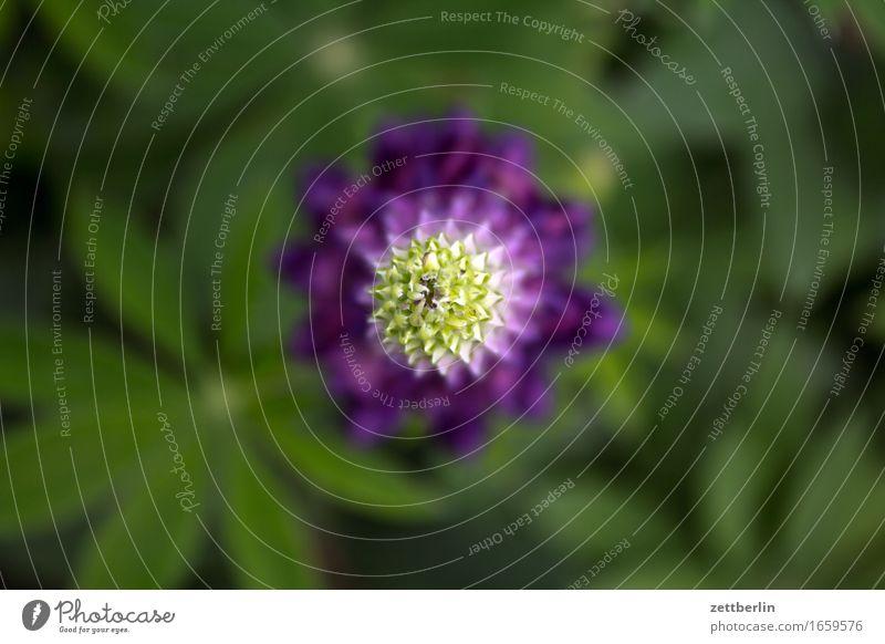Lupinus Blume blühend Blüte Blütenknospen Frühling friedlich Garten Gras Natur ruhig Sommer Textfreiraum Wachstum Pflanze Blatt Blattgrün Lupine lupinus