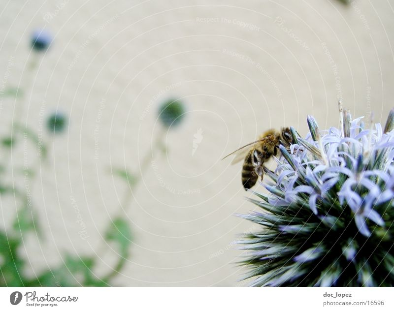 Biene_und_blaues_Ding_3 Blume blau Sommer Biene Anschnitt fleißig Staubfäden Nektar