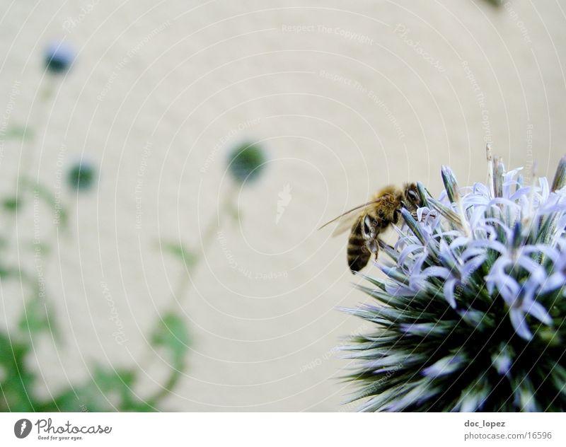 Biene_und_blaues_Ding_3 Staubfäden Blume Sommer fleißig blaue Blüte Nektar Detailaufnahme Anschnitt Aktion