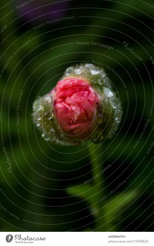 Mohn Blume Blühend Blüte Erholung friedlich Garten Gras Schrebergarten Samenpflanze Mohnblatt Klatschmohn Natur Rasen ruhig Sommer Textfreiraum Wachstum Wasser