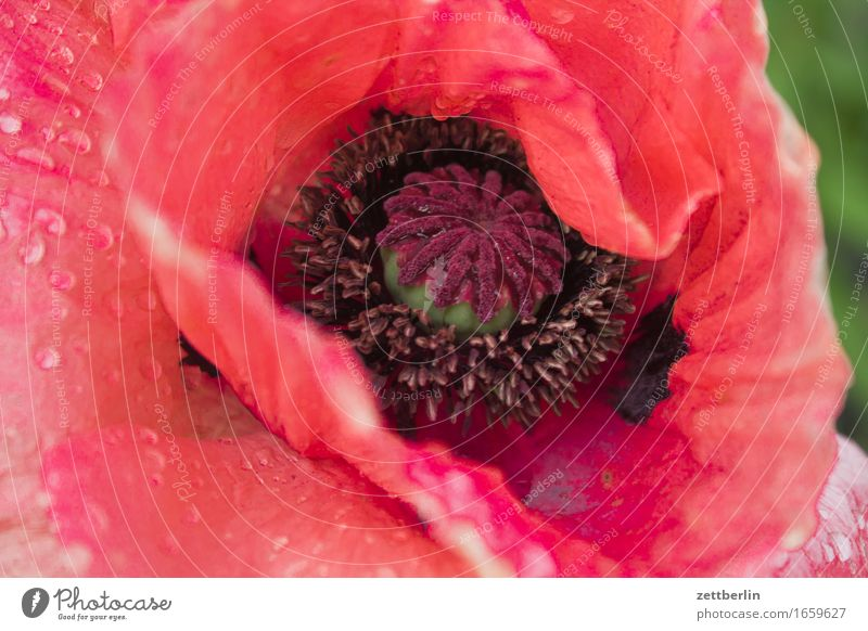 Großer Mohn Klatschmohn knospe Blume Blühend Blüte Erholung friedlich Garten Gras Schrebergarten Natur Rasen ruhig Sommer Textfreiraum Wachstum Wetter Wiese